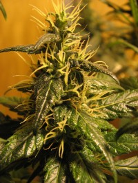 Auto Jack - Auto Flowering Feminised picture