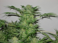 Betty Boo Autoflowering Feminised picture