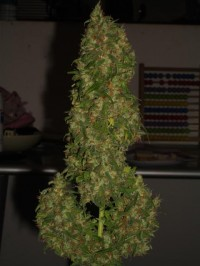 Chem Valley Kush picture