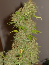 Mexican Sativa picture