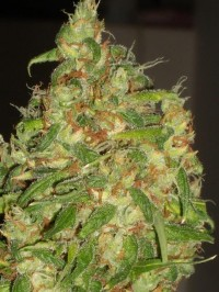 Nirvana Master Kush Feminised  - 5 picture