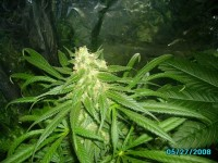 Roadrunner Autoflowering Feminised picture