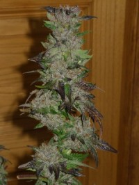 Sativa  Collection - d picture