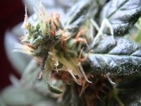 Shining Silver Haze Feminised picture