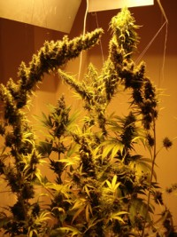 Strawberry Cough Feminised picture