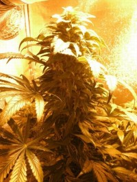 Sweet Tooth Auto Feminised picture